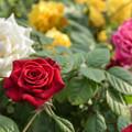 Photos: ベランダガーデニングのカラフルなミニ薔薇