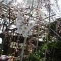 玉蔵院の枝垂桜5