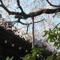 玉蔵院の枝垂桜8