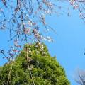 玉蔵院の枝垂桜10