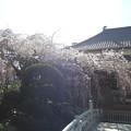 玉蔵院の枝垂桜0