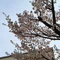 Cherry_Blossoms04102012dp2-02