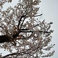 Cherry_Blossoms04112012dp2-01