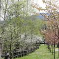 山桜と白樺