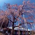 枝垂桜が咲きました.......