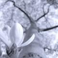 Photos: 辛夷.......