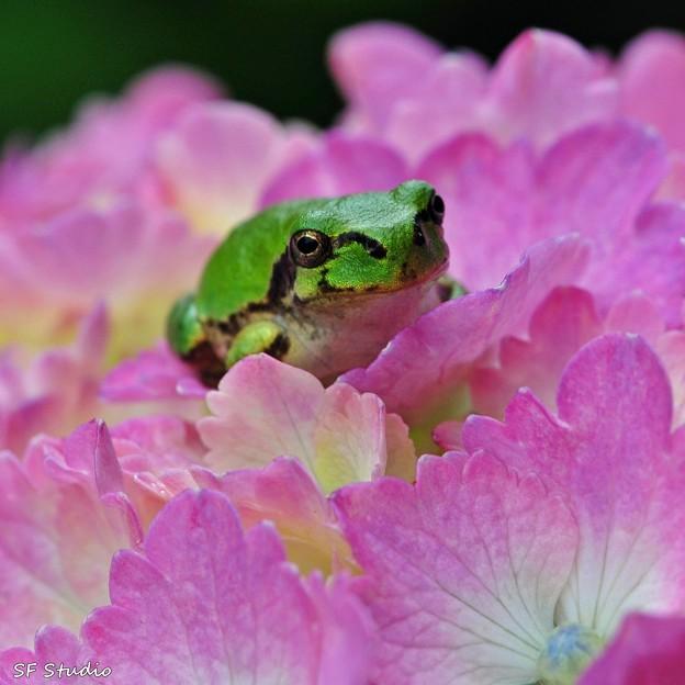 写真: 紫陽花とあまちゃん