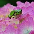 Photos: 紫陽花とあまちゃん
