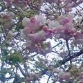 写真: オヤツに出陣しようとしたら、庭の八重ちゃんが咲き誇ってました~!