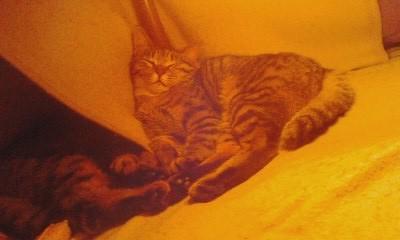 写真: 炬燵王こばんが炬燵掛けの間に隠れてるので、やまぶきが女王様状態ですわ。
