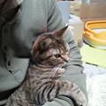 写真: 家の中では、こばんくんに捕まってしまいました。いつもの対猫用の爪たてられても鼻水ついても猫毛ついてもいー服に着替えてないのに~。