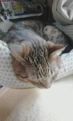 写真: こばんが炬燵から出て、猫ベッドへ。家の中でも奴らなりに四季を感じてるんですねえ。