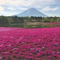 Photos: 富士芝桜