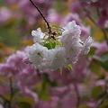 Photos: 一葉と関山979
