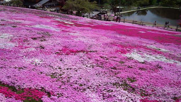 moss pink***(*^▽^*)