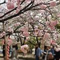 Photos: 04.大阪造幣局 桜の通り抜け