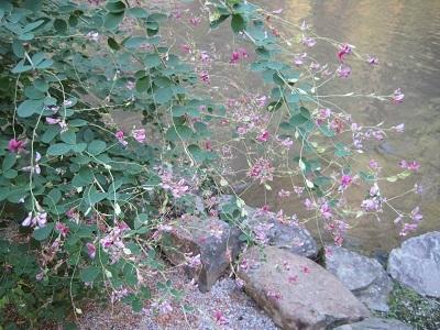 上賀茂神社の萩の花 2