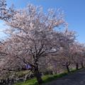 140405 桜桜桜の道