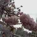 写真: 八重桜のふわふわ