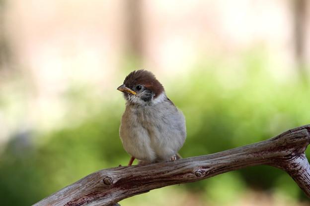 スズメ迷子の幼鳥(1)IMG_5130