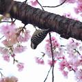 春のコゲラオトシ