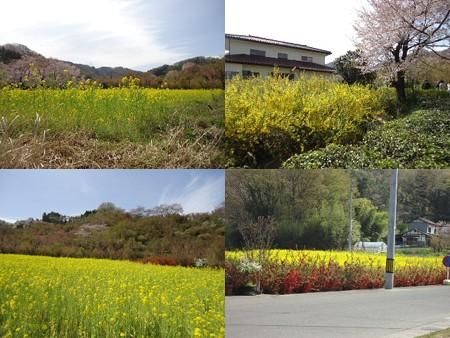 花見山公園菜の花