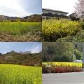 写真: 花見山公園菜の花
