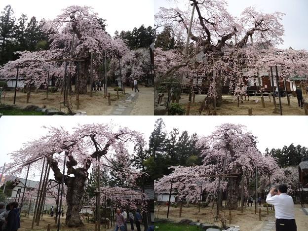 写真: 愛蔵寺の護摩桜