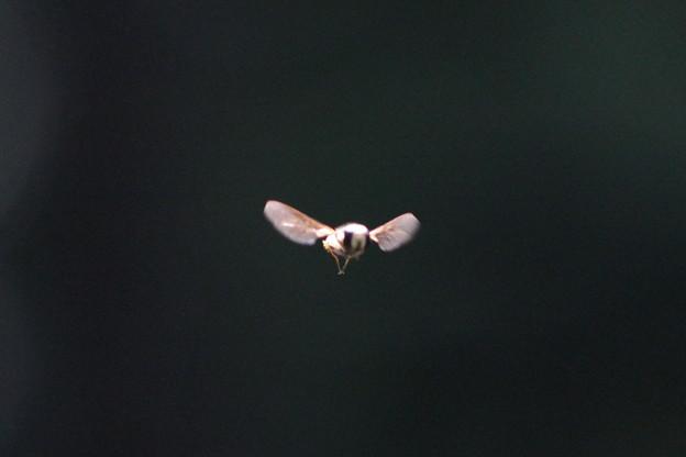 飛翔するアブ