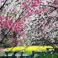 春の彩:枝垂れ梅15