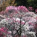 早春の賑わい:梅林21
