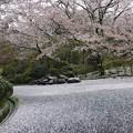 Photos: 散り桜20
