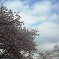 杉村公園桜26