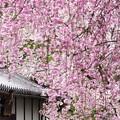 雨枝垂れ桜18