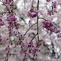 雨枝垂れ桜15