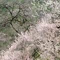 賀名生梅林09