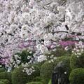 杉村公園桜07
