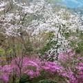 杉村公園桜06