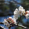 写真: ♪ソメイヨシノ~玉川園