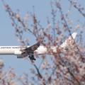 桜の奥を飛ぶ日航B777-200