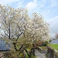 太白桜の咲く小径