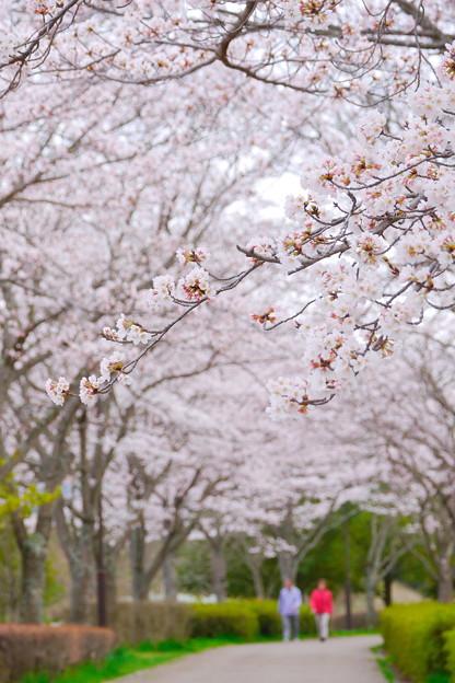 Photos: 桜を抜けて