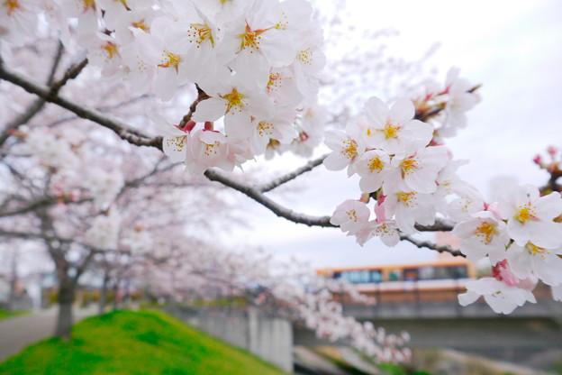 Photos: バス通りに、咲く
