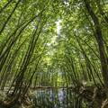 新緑「美人林」