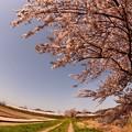 河川敷の桜 その3