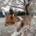 Photos: お花見猫