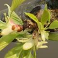 写真: 品種不明の桜 葉の展開と蜜腺