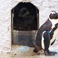 写真: 20150301 上野 ペンギン舎02