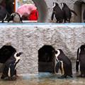 写真: 20150301 上野 ペンギン舎01