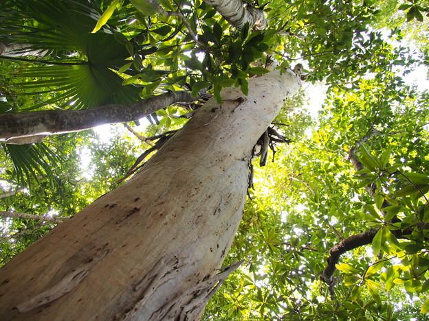 ユーカリ Eucalyptus sp.